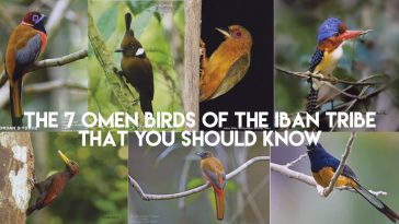 The 7 Omen Birds Of The Iban Tribe, That You Should Know